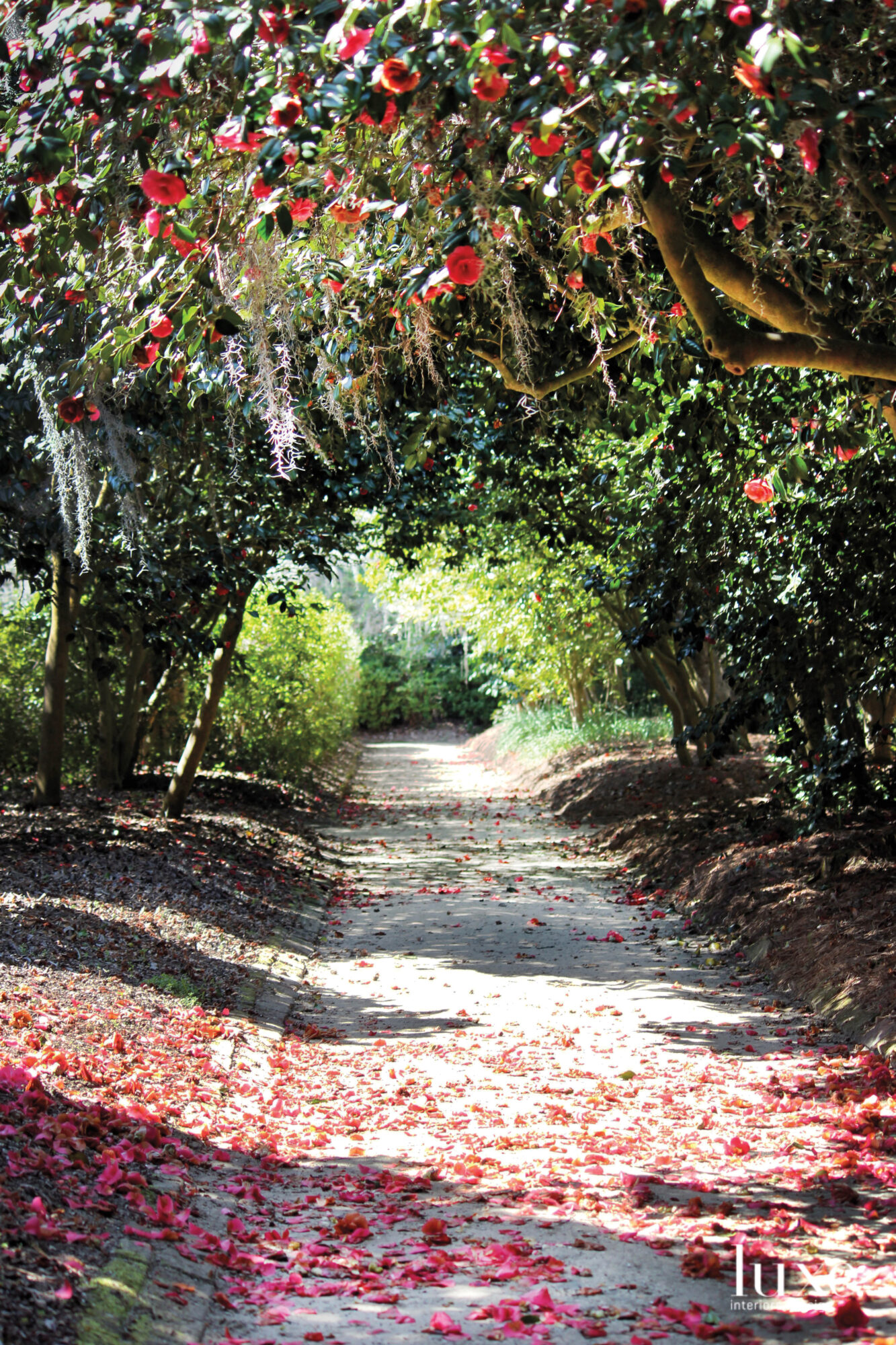 Camellia walk at Middleton Place
