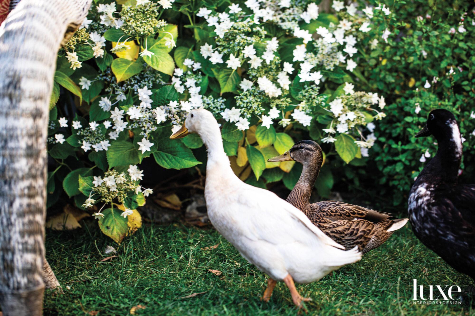 Three ducks by a shrub
